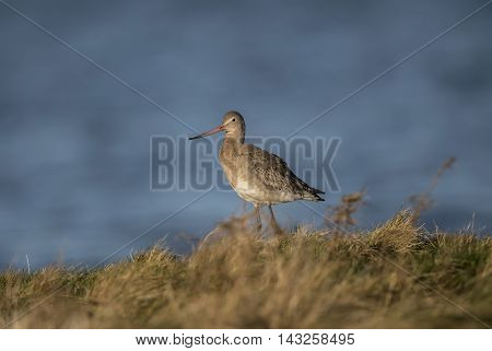 Black-tailed Godwit, On The Marshland In Front Of The Sea