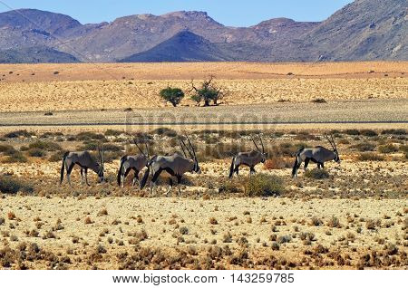A Gemsbok (Oryx gazella) in the Namib desert mountain in background Namibia Africa