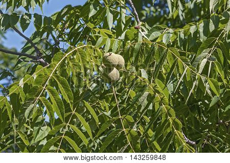 Eastern black walnut (Juglans nigra). Image of foliage and fruits