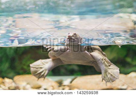 A photo of an australian pig-nosed flippered freshwater turtle Carettochelys insculpta in an aquarium.