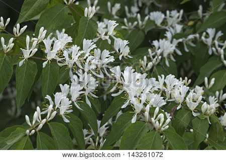 Amur Honeysuckle flowers (Lonicera maackii). Called Bush Honeysuckle also