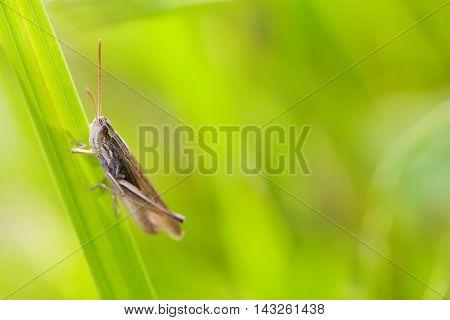 Short-horned grasshopper Podisma pedestris belonging to the family Acrididae subfamily Melanoplinae. macro view, shallow depth of field