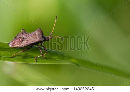 Brown shield bug. insect Pentatomidae on a green grass. macro view