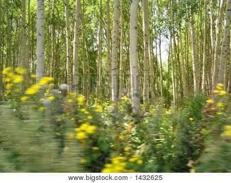 Birch Trees In East Kazakhstan