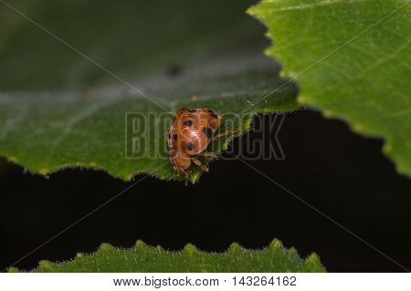 Lady bird moving from leaf to leaf.