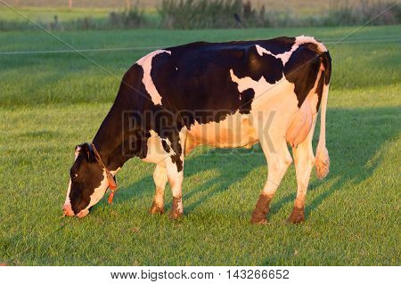 Black and white Holstein Friesian cow on a grass land.