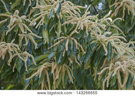Close up image of American chestnut male flowers (Castanea dentata)