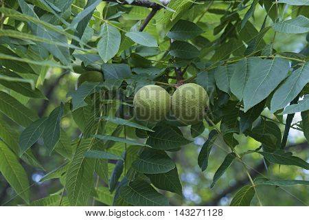Eastern black walnut (Juglans nigra). Image of two fruits
