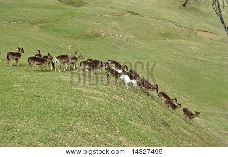 herd of frightened deer go down the green hill poster