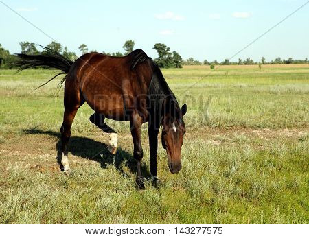 A horse walks in the field. The foal is walking with his parents in a meadow. Little pony. Thoroughbred horse breed. Thoroughbred a stallion. Three huge horse racing.