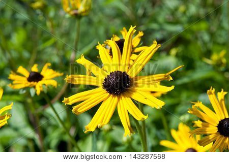 Beautiful autumn Rudbeckia flowers in the garden on a sunny day