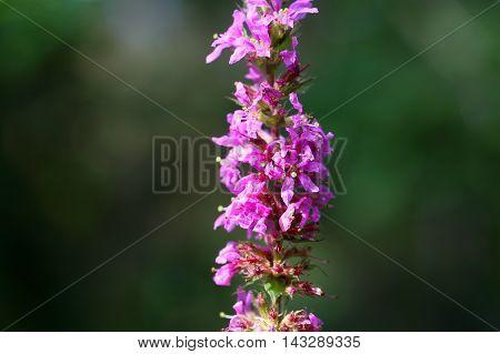 Flowers of a purple loosestrife (Lythrum salicaria)