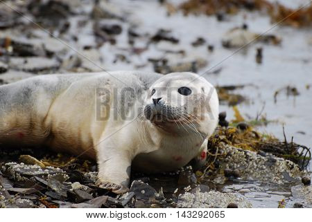 Harbor seal pup who is very curious about his surroundings.