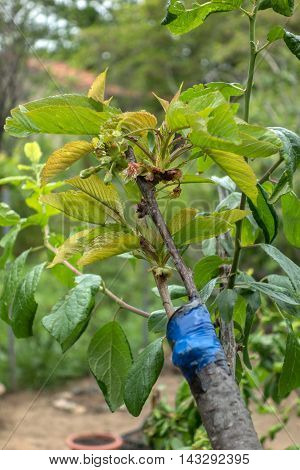 Grafting On Fruit Tree