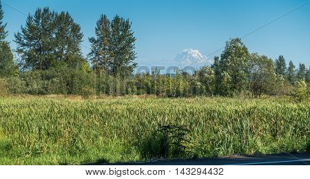 A view of Mount Rainier behind trees and grass.