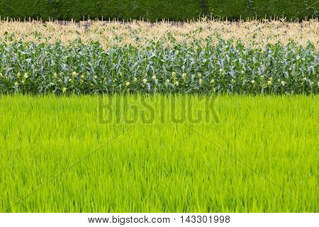 Rows of corn field with foreground rice field