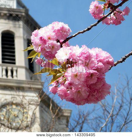 Sakura near Presbyterian Church in Washington DC USA