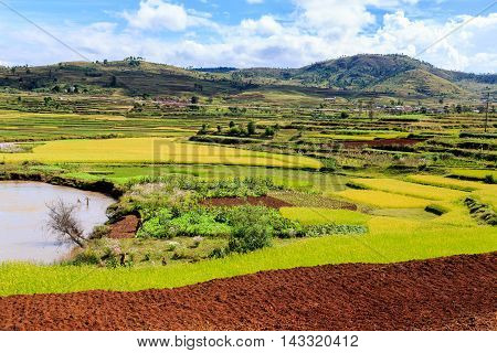 African Landscape With Rice Fields