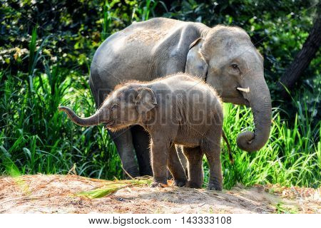 Mother and her baby elephants in forest, Thailand