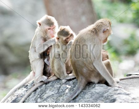 A monkey family with two babies, Thailand