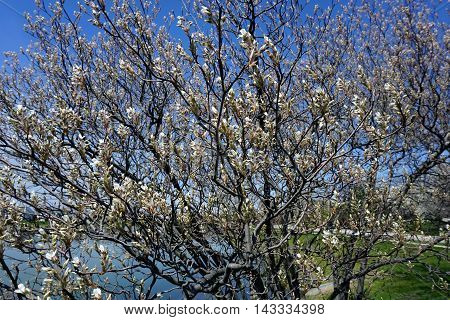 A serviceberry bush (also called Amelanchier, shadbush, shadwood, shadblow, sarvisberry, sarvis, juneberry, saskatoon, sugarplum, wild plum, wild pear, and chuckley pear) blossoming near a small lake in Joliet, Illinois during the Spring.