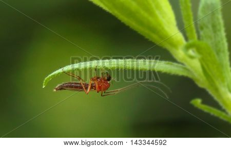 Close up photograph of a chironomid fly (midge).