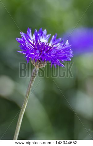Purple Centaurea cyanus flower , nature beauty