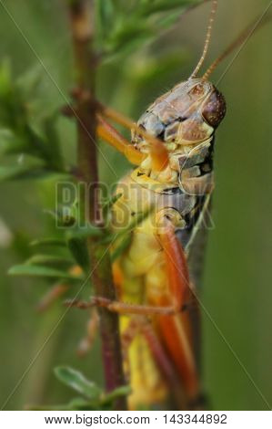 Close up photograph of an acridid grasshopper.