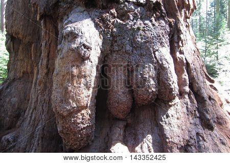 Giant sequoia burls, Calaveras Big Trees State Park, California