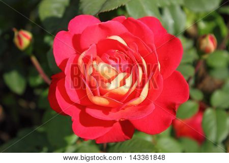 Closeup of a beautiful red rose on green backgrond