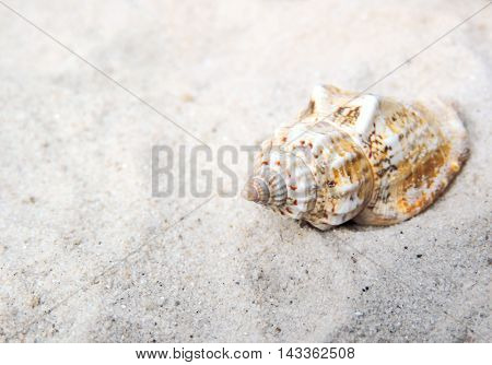 Conch shell at the beach with selective focus.