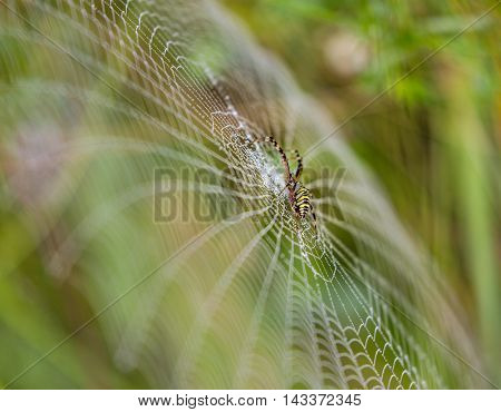 Wasp spider, Argiope, spider web covered by water droplets and morning dew