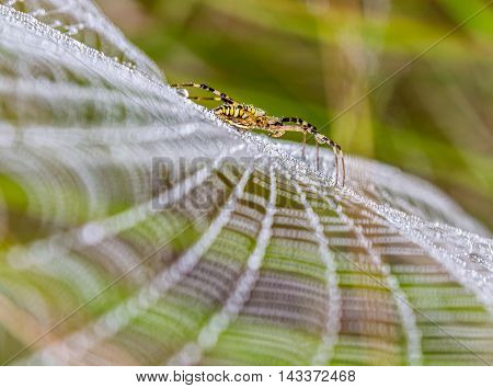 Wasp spider, Argiope, spider web covered by water droplets and morning dew poster