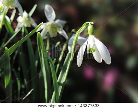 Snowdrops in the sun. Blossoming snowdrop flowers with elective focus.