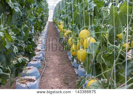 The Mellon grown in the farmland .