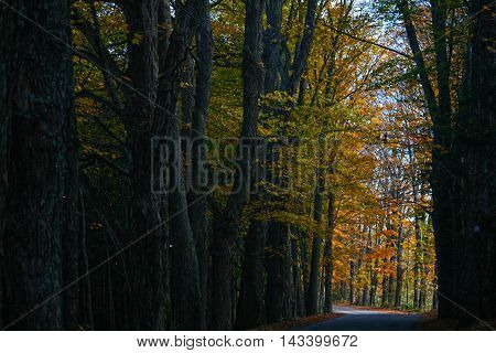 Gold and orange leaves on a tree lined road