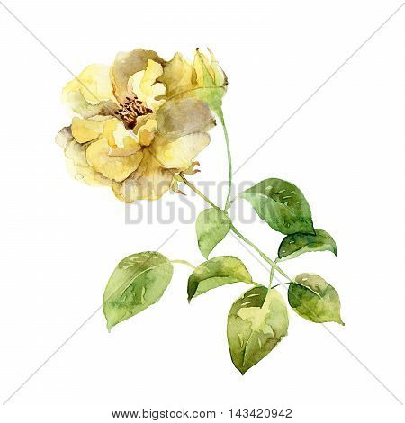 Single yellow rose isolated on white background. Watercolor illustration