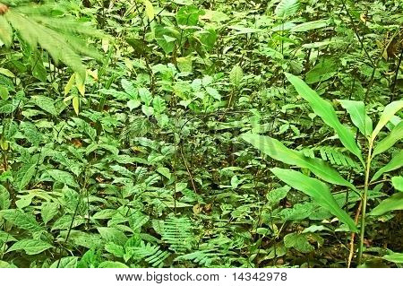 Dense ground flora in a thai forest