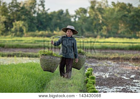 farmer working planting rice in farmland .