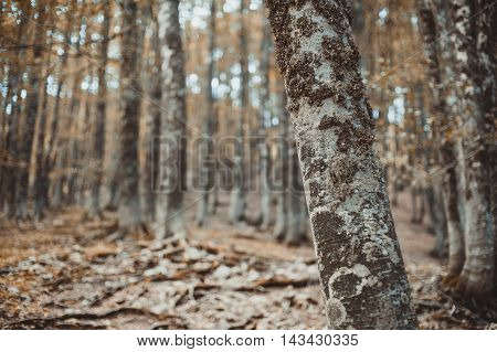 Fascinating Autumn Beech Tree Trunk In Woods