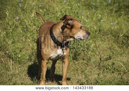 Auburn American Pit Bull Terrier is in full growth on a green grass in the middle of nature