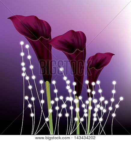 Beautiful black calla lilies on purple gradient background