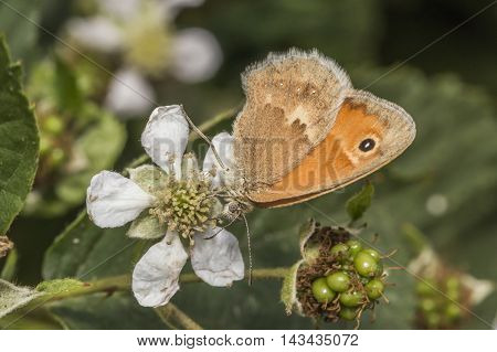 Small Heath Butterfly(coenonympha Pamphilus)