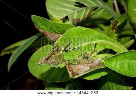 View of damaged leaves of tobacco plant covered with bug droppings and a shiny caterpillar.