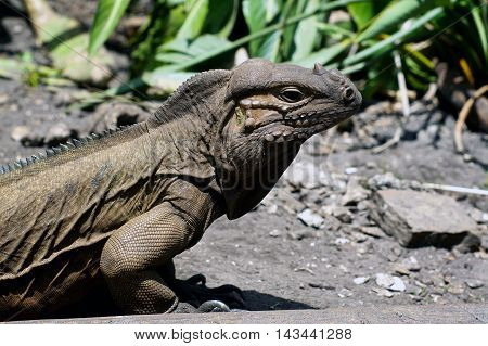 Profile view of a large horned Iguana lizard in bright sunshine in Ft. Myers Florida.