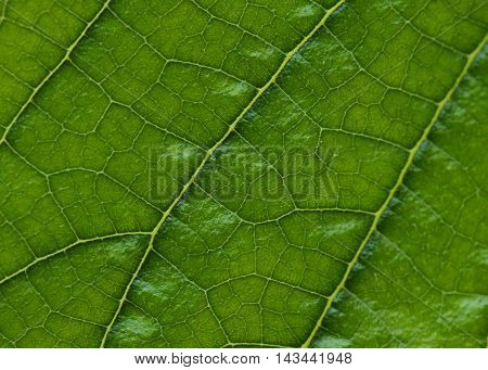 Close up photograph of a veiny green leaf.