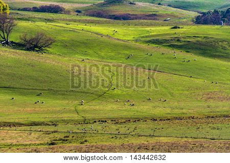 Agriculture Outback Landscape With Farm Animals Grazing On Paddo