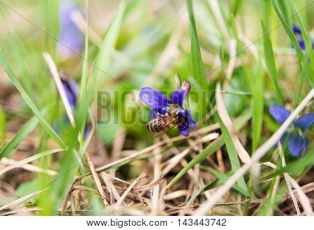Wood Violet or Dog Violet in woodland in springtime