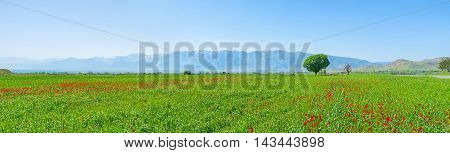 The green field with scattered bright poppies and huge mountain range on the background Samarkand suburb Uzbekistan.