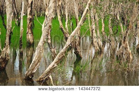 Melaleuca Cajuputi swap forest wetland in thailand